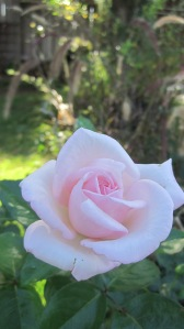 rose - pink 005