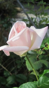Garden rose 001